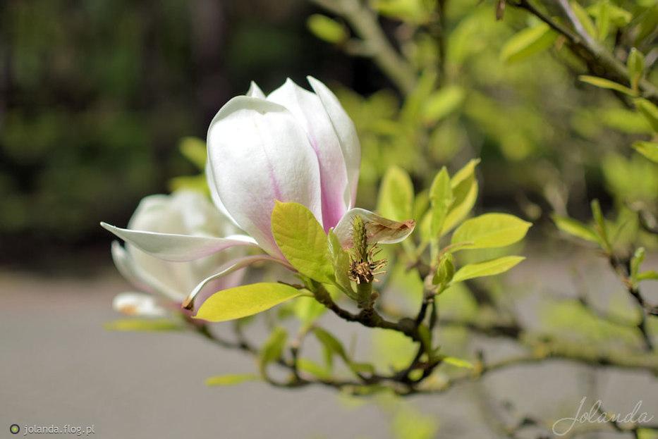 Magnolii czar