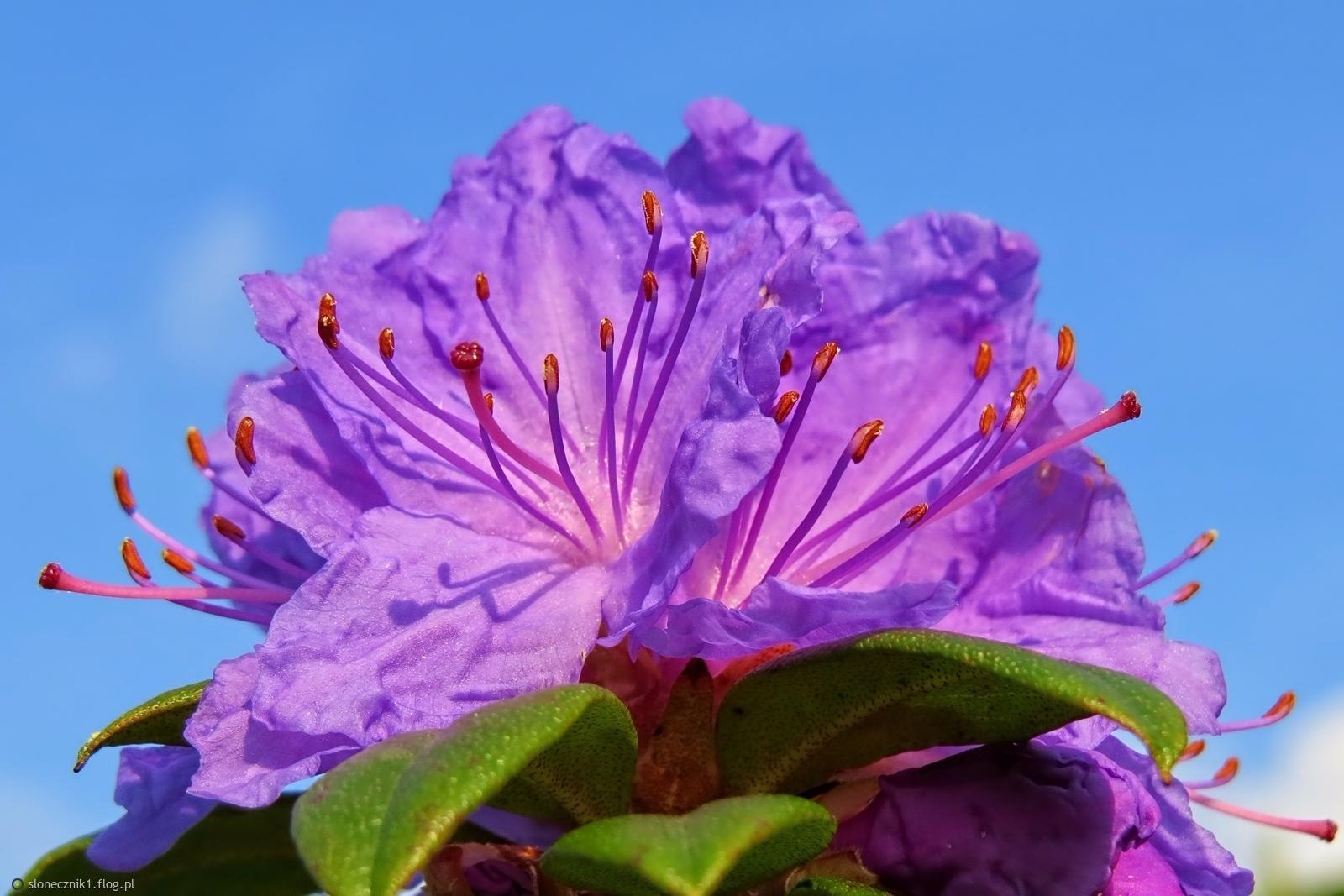 Ogrodowo - rodonendronowy zawrót głowy :) ... bo lubisz kwiaty