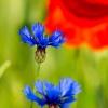 Kwiaty na łące ::