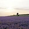 Fioletowe pole
