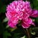 W podziękowaniu za piękną różyczkę ,pozdrawiam i życzę miłego popołudnia  :)