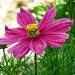 Tobie ofiaruję ten kwiat , za  częste odwiedzanie mojej galerii ,  plusiki i miłe komentarze :)))